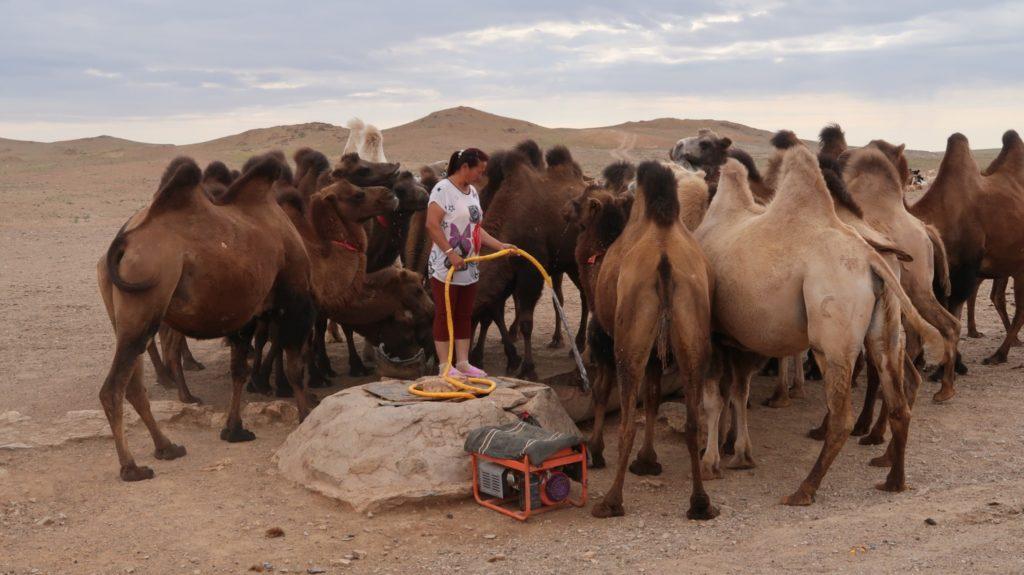 Reiseberichte zur Kamelwässerung in der Mongolei