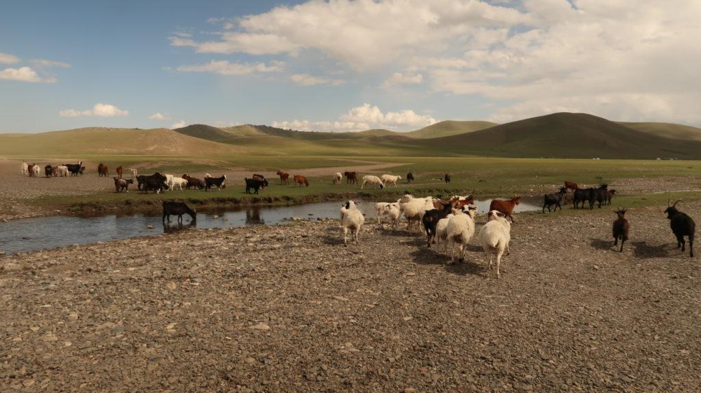 Tolle Landschaften mit unendlichen vielen Ziegen und Schafen in der Mongolei