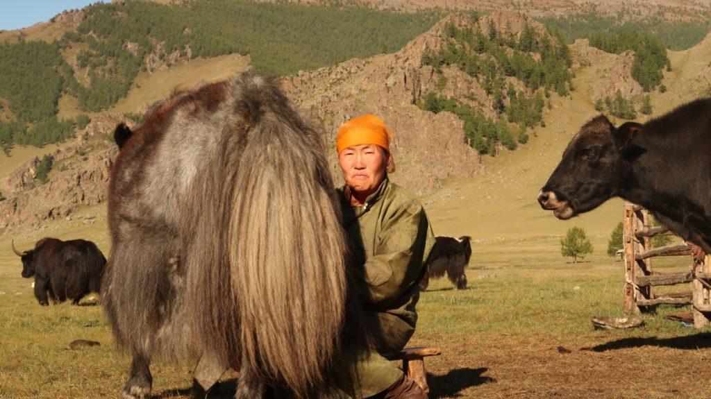 Yaks werden gemolken, im Terkh Nationalpark