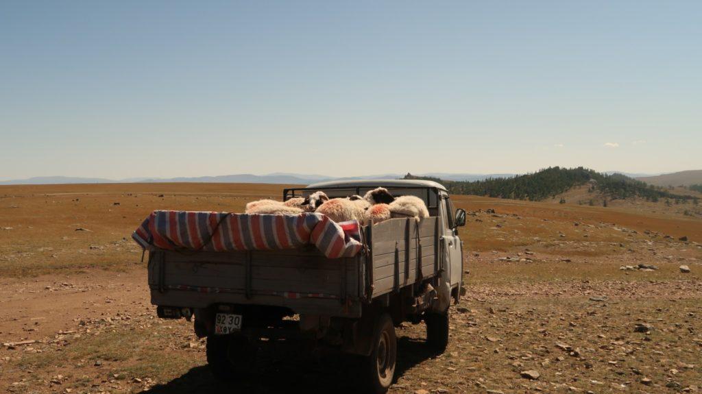 Viehtransporter Mongolei