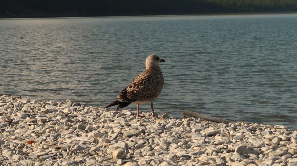 Khovsgol Lake Birds