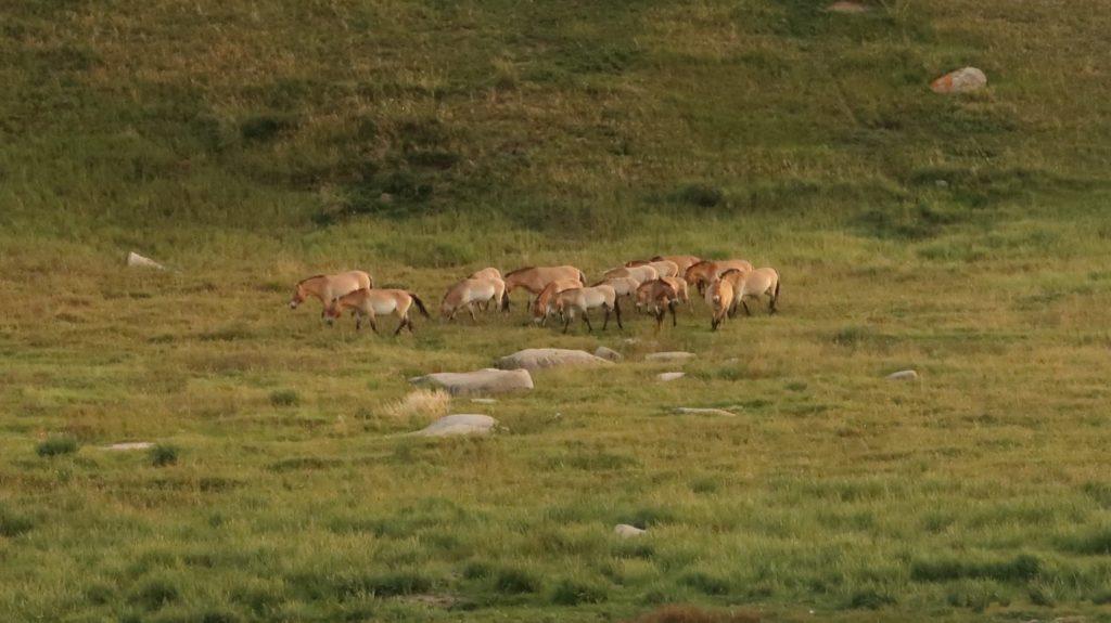 Wildpferde Mongolei - Reiseberichte