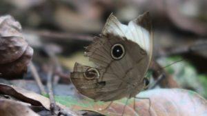 Schmetterling bohol