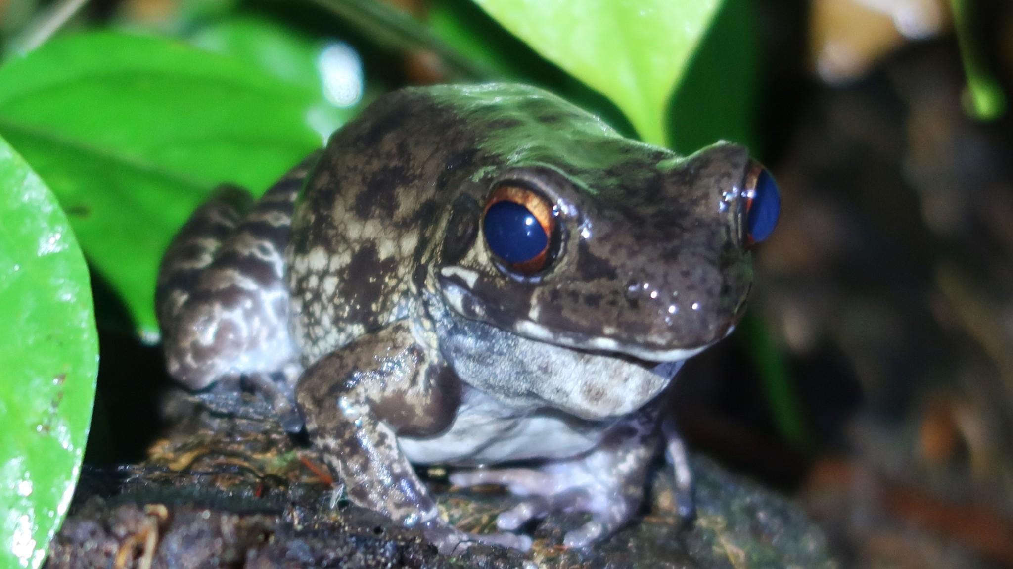 Frosch Kröte Borneo