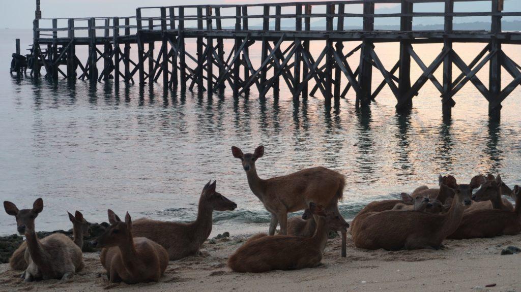 Deere Nusa Bay Indonesien