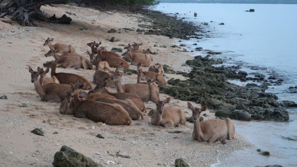 Rehe an der Nusa Bay