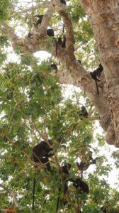 schwarze Affen in der Nusa Bay