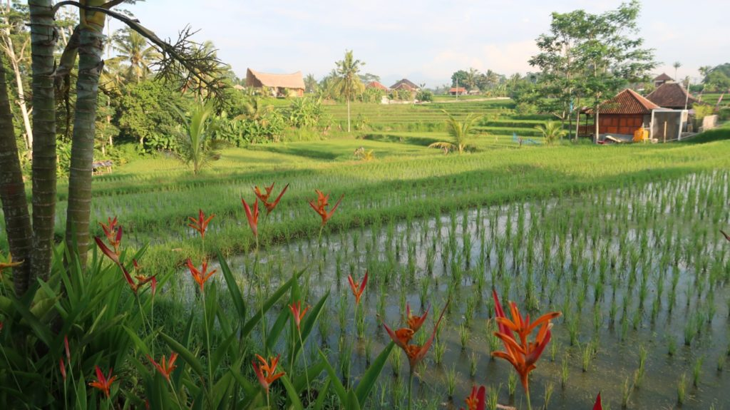Reisfelder um Ubud , Bali